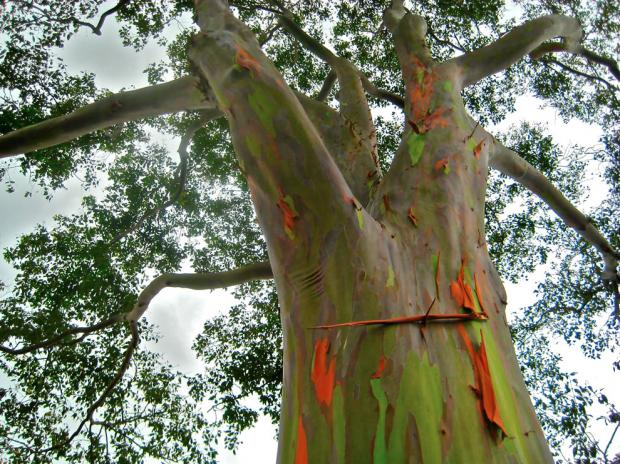 bark-smooth-yellow-brown-and-purple-but-green-after-flaking